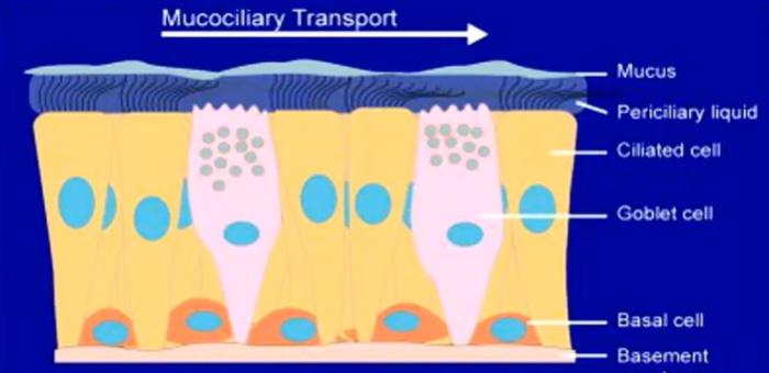 Мукоцилиарный транспорт