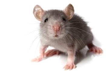 Мышка